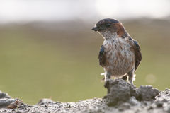 Striated swallow Stock Photography