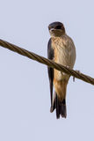 Striated swallow perched on a wire. Rare and endangered striated swallow sighted in karnataka state of India Stock Image