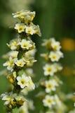 Striatum observé jaune pâle de Sisyrinchium d'herbe photos libres de droits