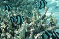 Striatus congregado de Chaetodon de los butterflyfish fotos de archivo