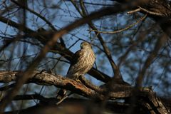 striatus Tagliente-shinned di Hawk Accipiter Fotografia Stock Libera da Diritti