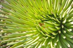 Stricta d'agave Photo libre de droits