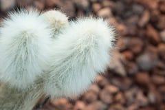 Stricta de la Opuntia Foto de archivo