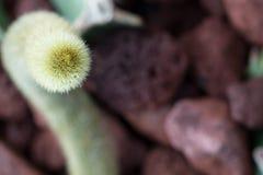 Stricta de la Opuntia Imagen de archivo