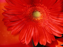 Strictly red. Artistic photograph of a deep red gerbera daisy against a matching red background Stock Photo