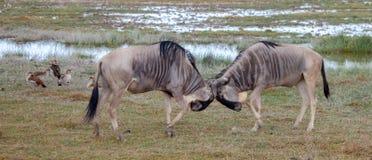 Strid för två antilop i savannahen av Kenya royaltyfri foto