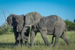 Strida för elefanttjurar arkivbilder