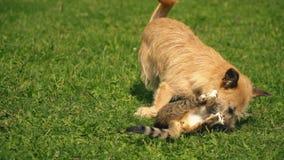 Striden av en hund och en katt stock video
