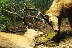 Striden av hjortar Fotografering för Bildbyråer