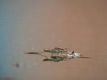 Striders van het water op water. Bezinningen in een vijver. Royalty-vrije Stock Afbeeldingen