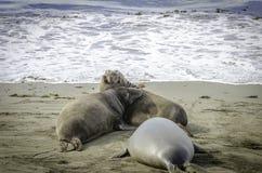 Stridighet för elefantskyddsremsa på stranden Arkivbilder