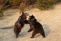Stridighet för Grizzlybjörn s Fotografering för Bildbyråer