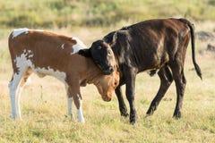 Stridighet för lek för två longhornkalvar Royaltyfri Fotografi