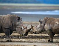 Stridighet för två noshörning med de kenya Chiang Mai _ royaltyfri fotografi