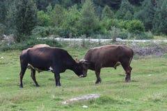 Stridighet för två tjurar i naturen royaltyfria foton