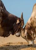 Stridighet för två tjurar i stranden Royaltyfri Foto