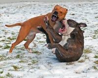 Stridighet för lek för groptjur med den Olde engelskabulldoggen Arkivfoto