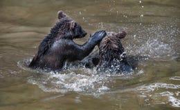 Stridighetbrunbjörnar i en lerig flod arkivfoton