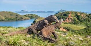 Stridigheten av Komodo drakar Fotografering för Bildbyråer