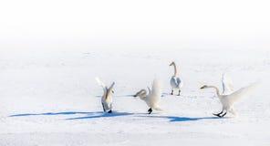 Stridighetsvanar på ett snöig fält Fotografering för Bildbyråer