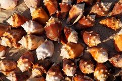 Stridighettrumpetsnäckaskal på stranden royaltyfri bild