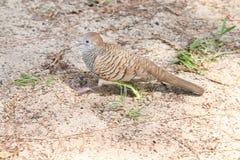 Striding голубя черепахи Стоковые Фотографии RF