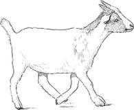 Striding коза Стоковые Фотографии RF