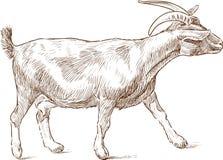 Striding коза Стоковые Изображения
