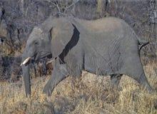 Striding слона стоковые изображения rf