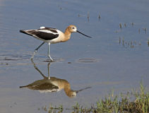 Striding American Avocet Royalty Free Stock Images