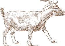 Striding goat Stock Images