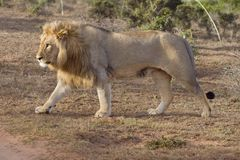 Striding Male Lion Stock Photography