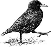 Striding starling Royalty Free Stock Photography