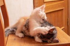 Stridkattungar Maine Coon Härliga Maine Coon kattungar fotografering för bildbyråer