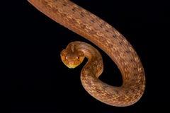 Strigatus côtier de Thamnodynastes de serpent de Chambre photos stock