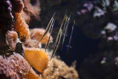Strigatus coral de Aeoliscus do shrimpfish fotos de stock