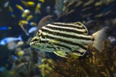 Strigatus Microcanthus ψαριών Stripey - κλείστε επάνω στοκ εικόνα