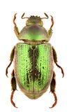 Strigidia species Royalty Free Stock Photography