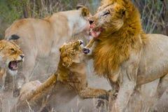 Strijd in de familie van leeuwen Nationaal Park kenia tanzania Masai Mara serengeti Royalty-vrije Stock Afbeeldingen
