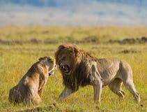 Strijd in de familie van leeuwen Nationaal Park kenia tanzania Masai Mara serengeti Stock Afbeelding