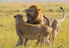 Strijd in de familie van leeuwen Nationaal Park kenia tanzania Masai Mara serengeti Royalty-vrije Stock Afbeelding