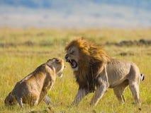 Strijd in de familie van leeuwen Nationaal Park kenia tanzania Masai Mara serengeti Stock Foto's