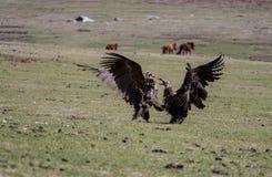 Strijd van gieren royalty-vrije stock foto's