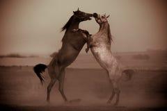 Strijd van paarden Stock Afbeeldingen
