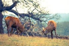 Strijd van Rode Hertenmannetjes Royalty-vrije Stock Fotografie