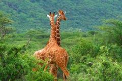 Strijd van twee giraffen Stock Afbeeldingen