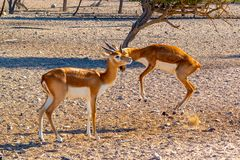 Strijd van twee jonge antilopen in een safaripark op Sir Bani Yas Island, Abu Dhabi, de V.A.E stock foto's