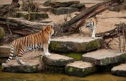 Strijd van twee Siberische tijgers Royalty-vrije Stock Afbeeldingen
