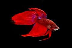 STRIJDvissen stock afbeelding
