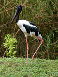 Striking Black Necked Stork Stock Photography